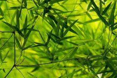 Fresh look of Thai bamboo leaves texture after raining. Khampangpetch, Thailand royalty free stock image