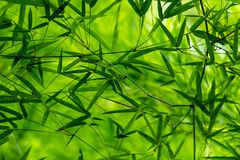 Fresh look of Thai bamboo leaves texture after raining. Khampangpetch, Thailand stock photo
