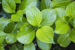 Fresh looking green leafs Royalty Free Stock Photography