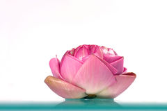 Fresh lotus Royalty Free Stock Photography