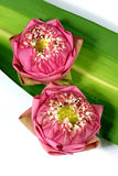 Fresh lotus Stock Photos