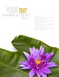 Fresh lotus and Banana Leaf on white background royalty free stock photo