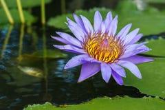 Fresh lotus blooming on the water Royalty Free Stock Image
