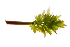 Fresh lovage Royalty Free Stock Photos