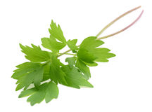 Fresh lovage branches Royalty Free Stock Images