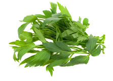 Fresh lovage herb Royalty Free Stock Image