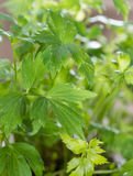 Fresh Lovage Plant Royalty Free Stock Photo