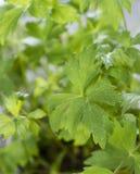 Fresh Lovage Plant Stock Photos