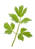 Fresh lovage twig Stock Photos