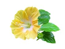A yellow Hibiscus flower isolated on white background royalty free stock photo