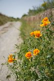 Fresh lovely orange color poppy wild flower and gree leaves foreground along walking trail in red valley with unpaved road backgro. Fresh lovely orange color Royalty Free Stock Photos