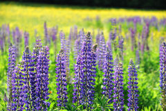 Fresh lupine blooming in spring. Close up on fresh lupine blooming in spring Royalty Free Stock Images