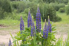 Fresh lupine blooming in spring or summer. High lush purple lupine flowers, summer or spring. Blossoming lupines in foreground. Horizontal image Stock Photography