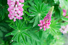 Fresh lupine blossom close up Royalty Free Stock Images