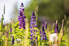 Fresh lupine close-up blooming in spring. Purple lupine flowers Stock Photography