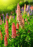 Fresh lupine flowers Royalty Free Stock Images