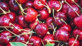 Fresh Luscious Red Cherry Fruit royalty free stock images