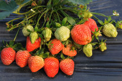 Fresh luscious   strawberries Royalty Free Stock Image