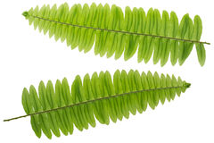 Fresh lush Fern leaf twig, green leaves isolated on white Stock Photos