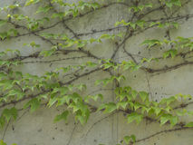 Fresh lush green ivy climbs on a concrete decorative wall Stock Photos