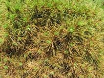 Fresh lush green pine needles. Green pine needles texture background Royalty Free Stock Images