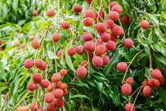 Fresh lychee fruit on tree in lychee orchard Royalty Free Stock Image