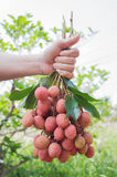 Fresh lychee Stock Images