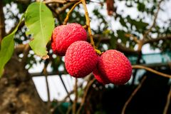 Fresh lychee on tree, Lychee fruit royalty free stock images
