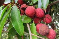 Fresh lychees Stock Images