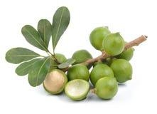 Fresh macadamia nut. On white background Royalty Free Stock Photos