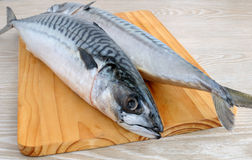 Fresh mackerel Stock Photography
