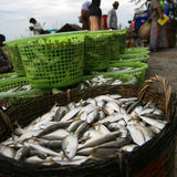 Fresh mackerel in basket. Stock Image