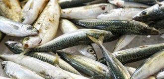 Fresh mackerel Stock Photography