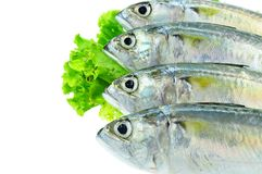 Fresh mackerel fish Stock Photography