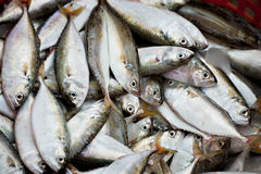 Fresh mackerel fish Royalty Free Stock Image