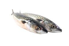 Fresh mackerel fish. Es on white background Royalty Free Stock Image