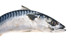 Fresh mackerel fish Stock Images