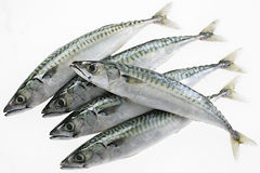 Fresh mackerel fish collection isolated on the white background Stock Photography