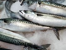 Fresh mackerel fish on crushed ice. For sale in the fish market in Portugal royalty free stock images