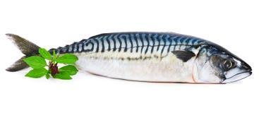 Fresh mackerel fish decorated with basil twig. Isolated on white background Royalty Free Stock Photography