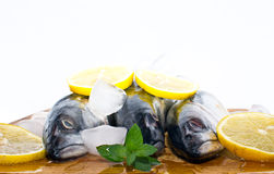 Fresh mackerel fish on ice with fresh yellow lemon. Slices and spices Stock Image