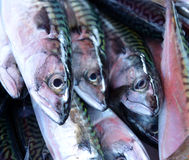 Fresh mackerel fish on ice. Fresh mackerel fish (Scomber scrombrus) on ice Royalty Free Stock Photos