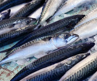 Fresh mackerel fish on ice. Fresh mackerel fish (Scomber scrombrus) on ice Stock Photography