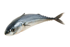 Fresh mackerel fish isolated Royalty Free Stock Images