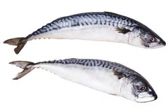 Fresh mackerel fish isolated on the white background. royalty free stock photography