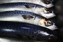 Fresh mackerel fish in kitchen stock photography