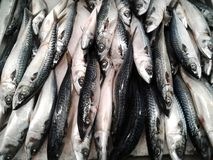Fresh mackerel fish at the market. food.  Stock Image