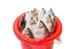 Fresh mackerel fish in plastic bucket Stock Image
