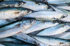 Fresh mackerel fish for sale on market Royalty Free Stock Images