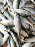 Fresh mackerel fish at seafood market. Fresh mackerel fish on a tray at seafood market Stock Images